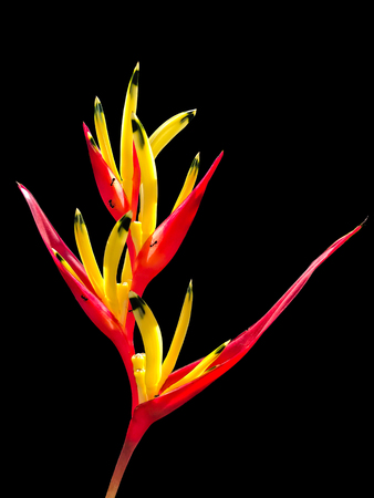 Heliconia flower isolated and black background