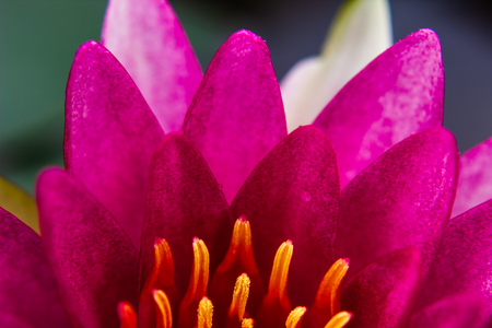 part of  beautiful lotus flower Ellisiana or Tubtim Siam Water Lily blooming on pond Stock Photo