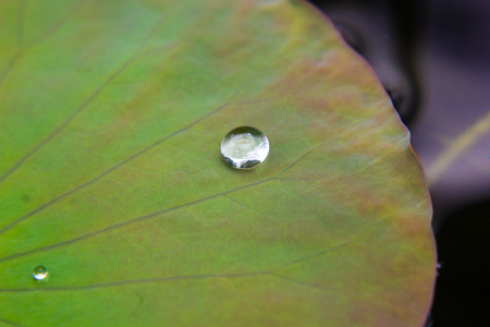 water drop on the lotus leaf