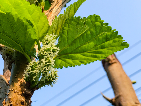 young Mulberry fruit growing on the tree
