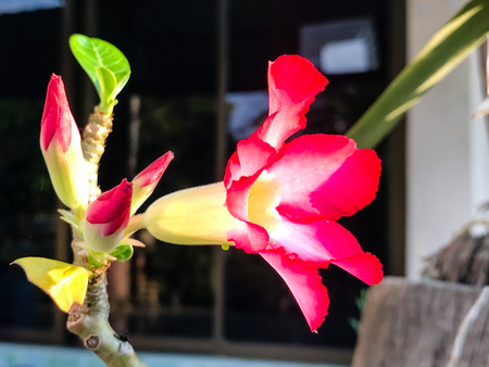 Adenium obesum, Desert Rose flower in the garden.