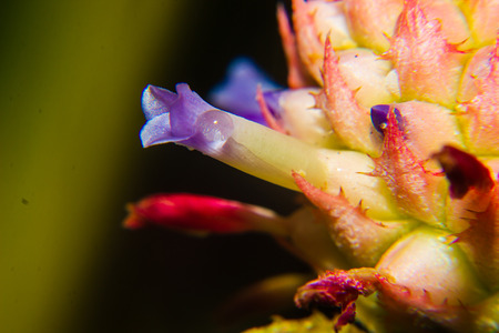 close up of small pineapple flower the plant is ornamental Stock Photo