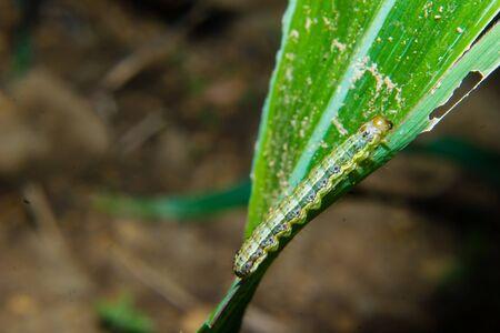 fall armyworm Spodoptera frugiperda on corn leaf. Corn leaves damage by worms