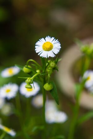 white small daisy blooming in the meadow
