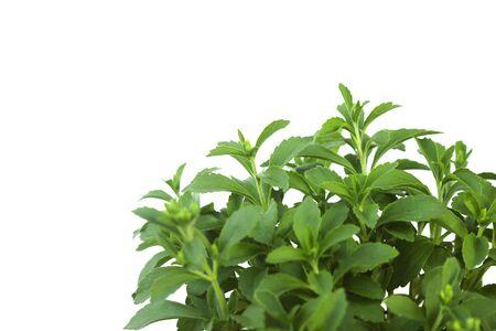 Planta de Stevia Rebaudiana aislado sobre fondo blanco.