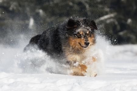 australian animals: Australian Shepherd dog runs in the snow