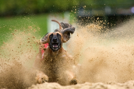 afghan hound with splashing sand photo
