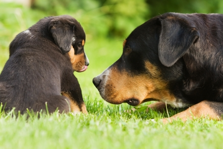 Great Swiss Mountain Dog mother with child