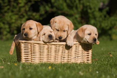 バスケットに座って 4 つのラブラドール子犬