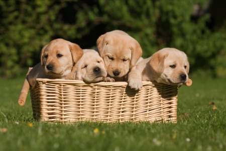 four Labrador puppies sitting in a basket Stock Photo