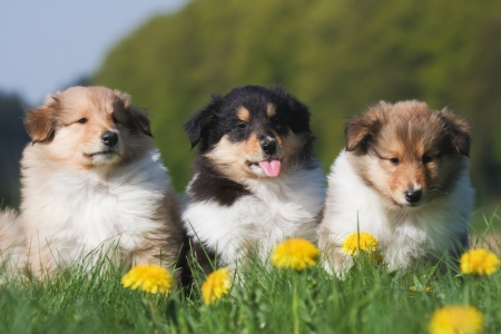 three cute Collie puppies
