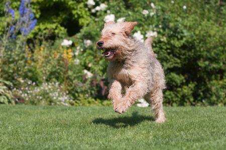 庭を走っているオッターハウンド犬 写真素材