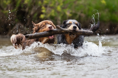 limb: two Australian Shepherd dogs with a limb in their mouthes