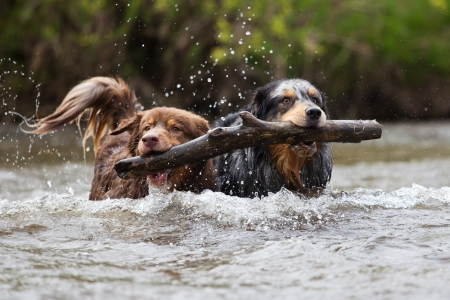 two Australian Shepherd dogs with a limb in their mouthes photo
