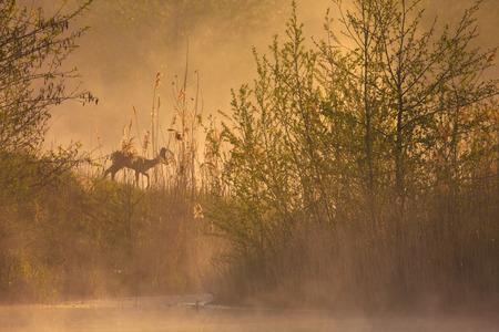 lakeside: deer at lakeside morning fog
