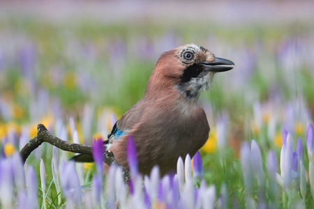 eurasian: Eurasian jay on a meadow with crocusses