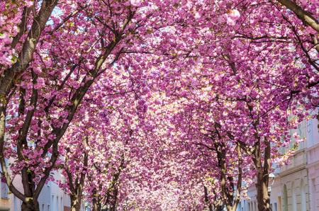 alley with blooming cherry trees in Bonn, Germany Zdjęcie Seryjne