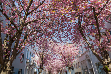 dreamlike: alley with cherry trees in the old town of Bonn, Germany
