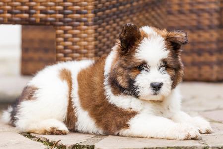 cute puppy: Cute Elo puppy Stock Photo
