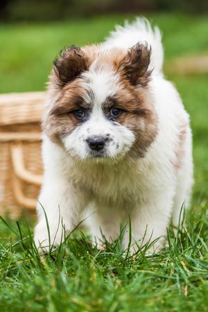 cuddly baby: cute Elo puppy on the green lawn
