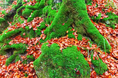 overgrown: moss overgrown tree roots in a forest Autumnal