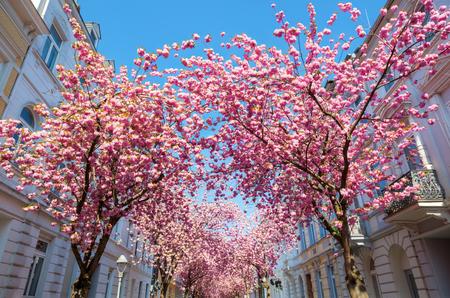 pink flowering cherry trees in the old town of Bonn, German