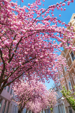 dreamlike: pink flowering cherry trees in the old town of Bonn, Germany
