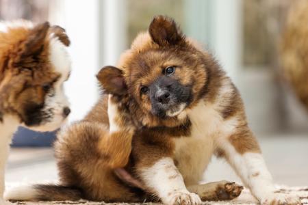 Schattige puppy Elo krabben zich achter het oor