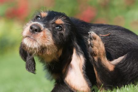 at Otter Hound puppy is scratching himself behind his ear Standard-Bild
