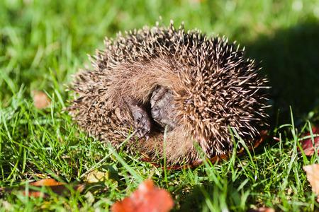 rolled: rolled up hedgehog