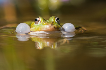 loudness: frog with bloated vocal sacs