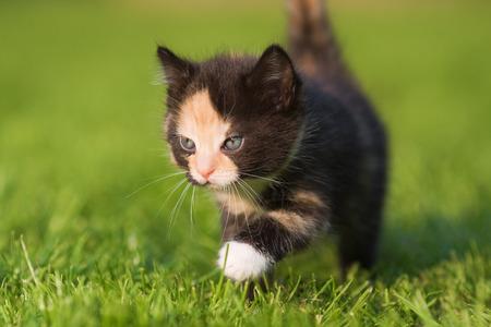 cuddly baby: cute kitten walking on the lawn