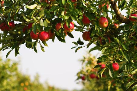 과수원에서 사과 나무 스톡 콘텐츠