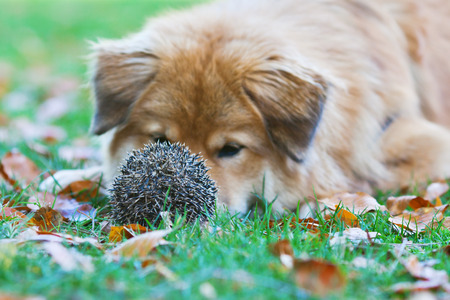 surprised dog: Elo dog is surprised to find a prickly hedgehog in the meadow