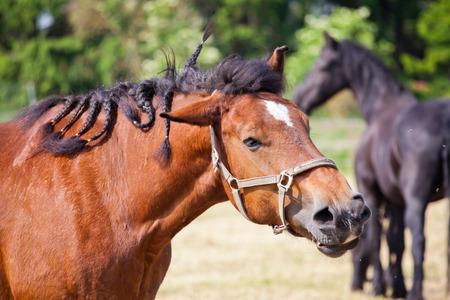 heavy: heavy Ardennes Cart Horse