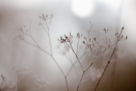 withered plants in wintry fog Stock Photo