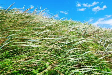 wafting: blowing grass on a dune