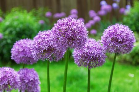 allium flower: Allium flower in a flower bed