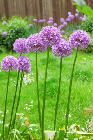 allium: Allium flower in a flower bed