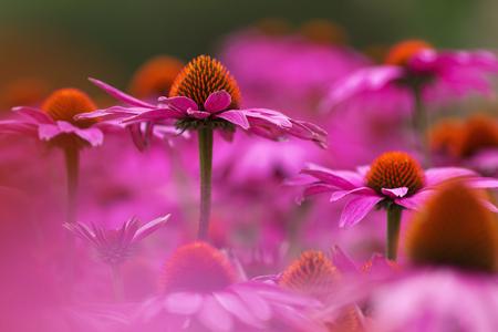 coneflowers: bed of purple coneflowers Stock Photo