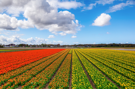 lisse: colorful field with tulips near Lisse, Netherlands Stock Photo