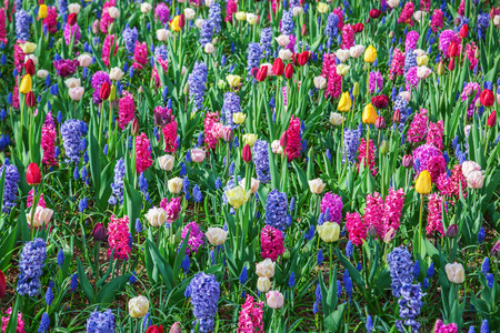 hyacinths: flower bed with different spring flowers like hyacinths and tulips