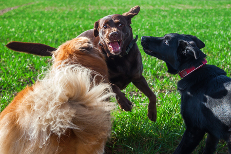 dogs playing: three dogs playing and fighting together outdoor Foto de archivo