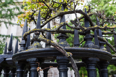 gnarled: gnarled branches of a rose creeping around an antique wrought iron fence
