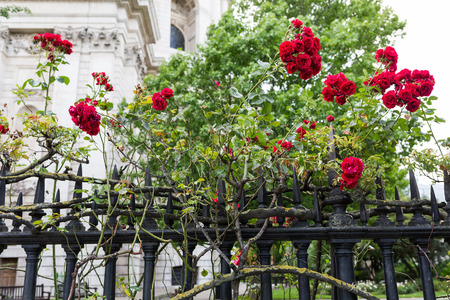 st pauls: red rose bushes at a fence of St Pauls Cathedral in London