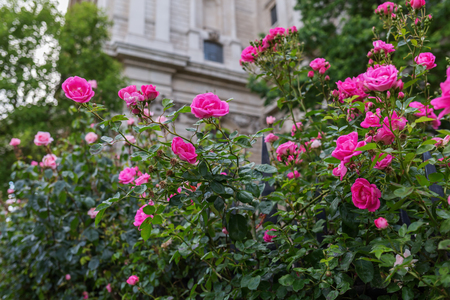 st pauls: red rose bushes in front of St Pauls Cathedral in London