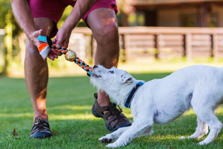 pull toy: man is playing with his Parson Russell Terrier Foto de archivo