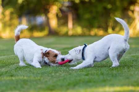 two cute Parson Russell Terrier fighting for a toy on the meadow