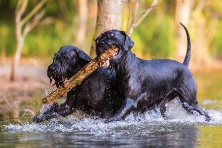 two Standard Schnauzer dogs running in the water with a wooden stick