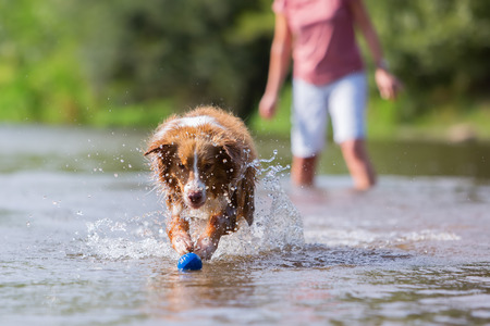 retrieving: Australian Shepherd running in a river for retrieving a ball Stock Photo